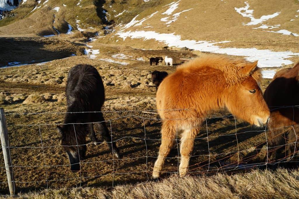 Islandske-heste
