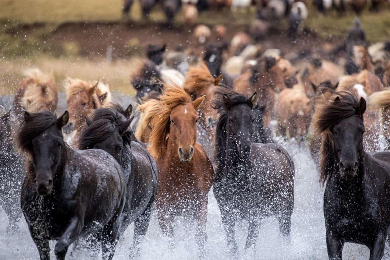 Icelandic-horses